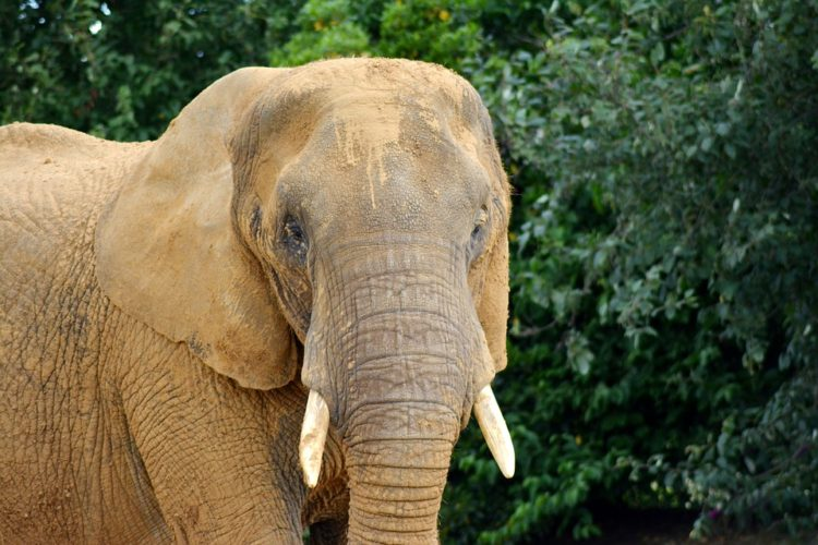elefantes-marfil-eeuu7