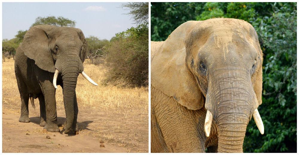 elefantes-marfil-eeuu8