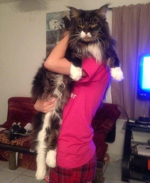 gato-gigante1