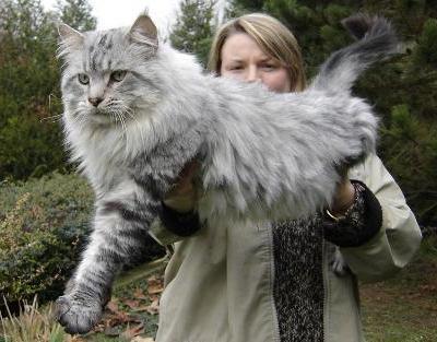 gato-gigante4