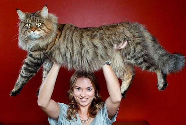 gato-gigante7