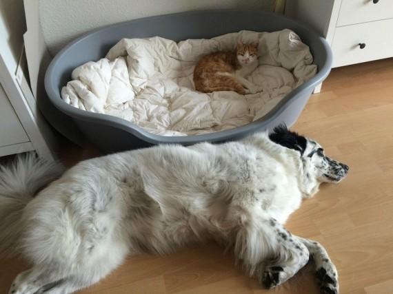 gatos roban camas perros almohada