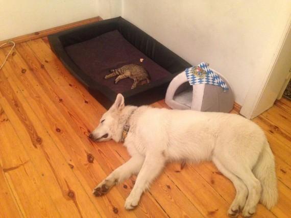 gatos roban camas perros casita