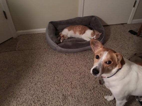 gatos roban camas perros mirada