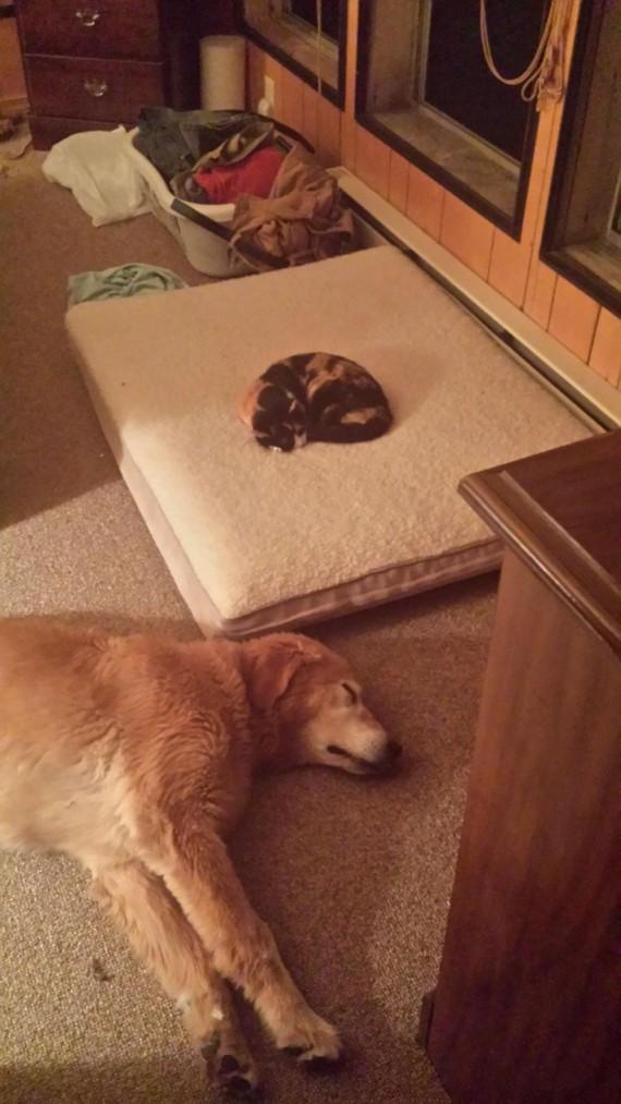 gatos roban camas perros resignado