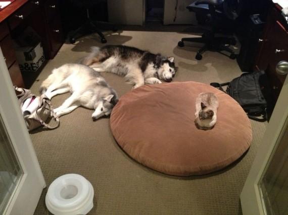 gatos roban camas perros tamaño y numero