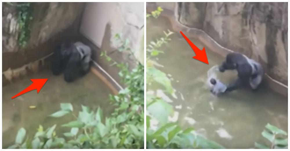 gorila-asesinado-zoo