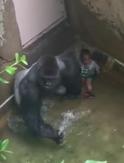 gorila-asesinado-zoo4