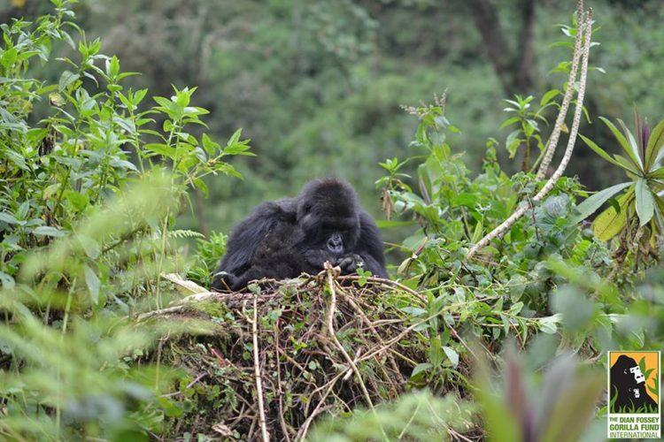 gorila-gemelos-madre1