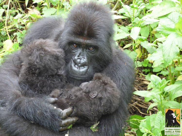 gorila-gemelos-madre2