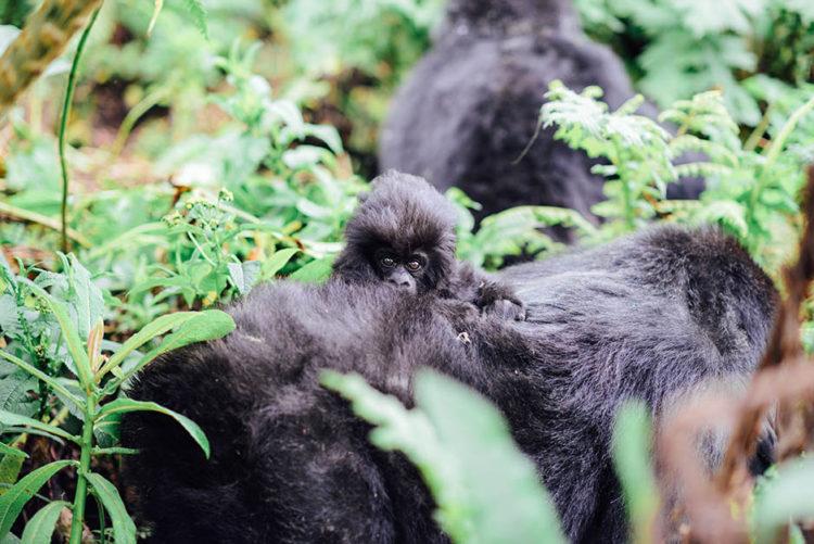 gorila-gemelos-madre3