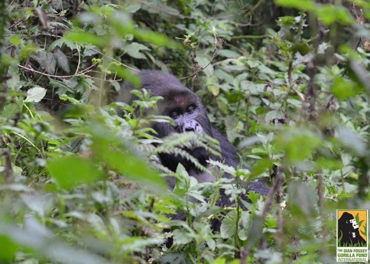 gorila-gemelos-madre4
