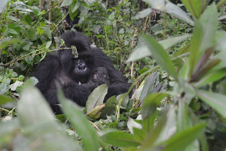 gorila-gemelos-madre5