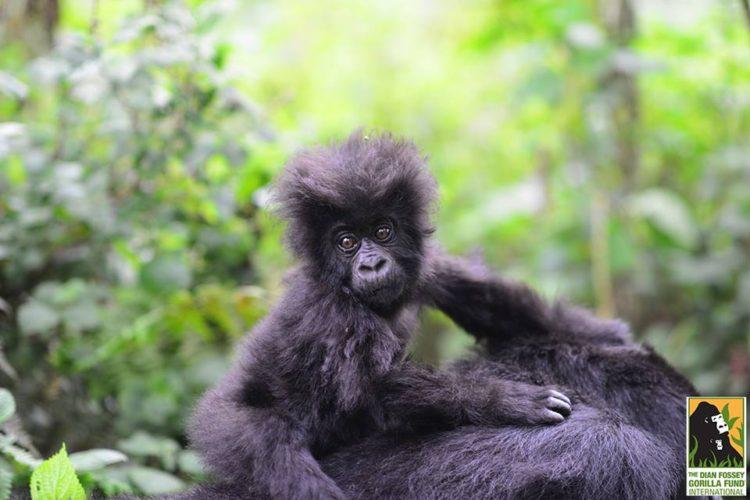 gorila-gemelos-madre8