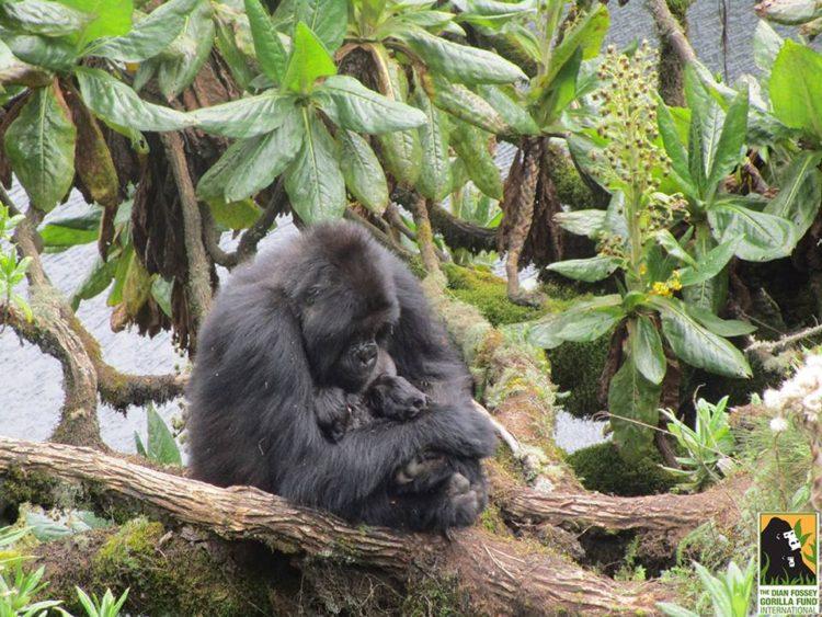 gorila-gemelos-madre9
