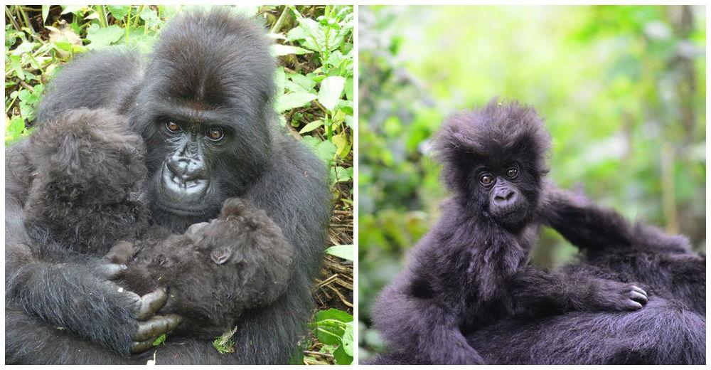 gorilas-gemelos-madre