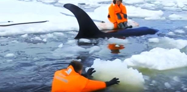 orcas 13