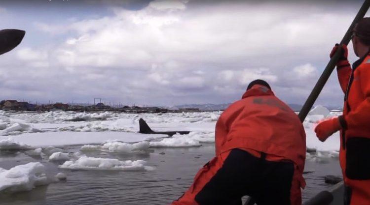 orcas 18