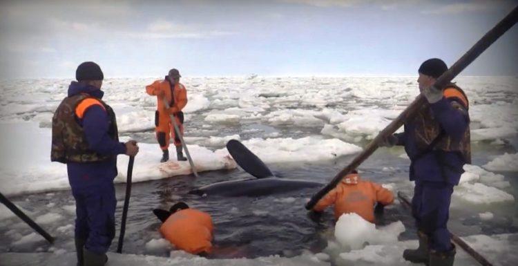 orcas 21