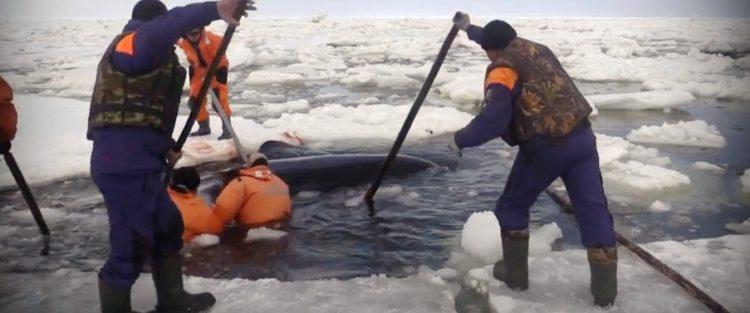 orcas 23
