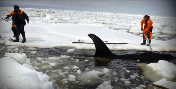 orcas 26