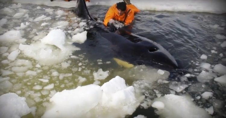 orcas 31