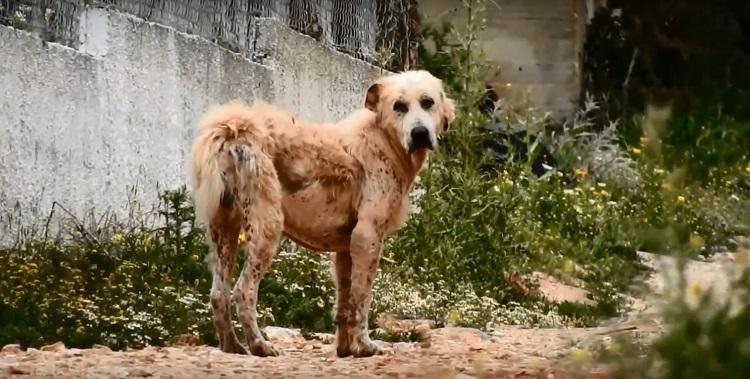 perro abandonado enfermo sin oreja Grecia 1