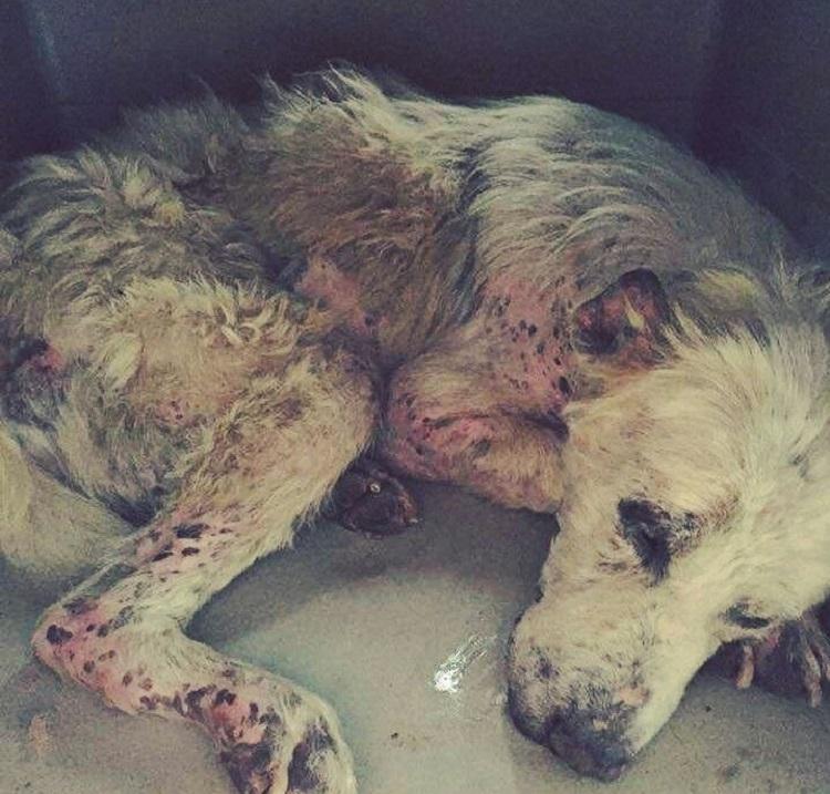 perro abandonado enfermo sin oreja Grecia 11