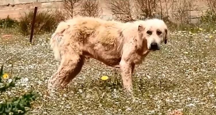 perro abandonado enfermo sin oreja Grecia 2