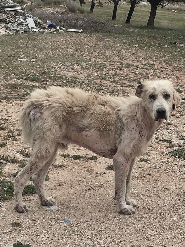 perro abandonado enfermo sin oreja Grecia 4