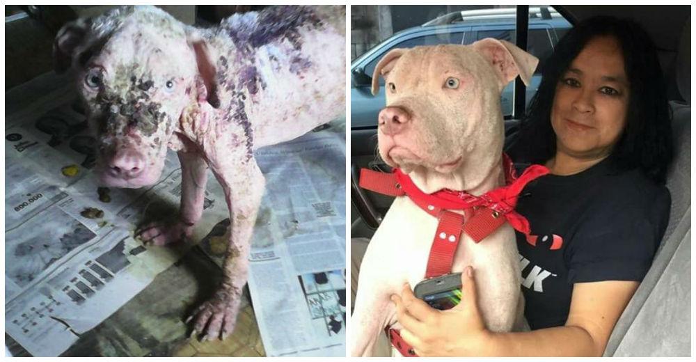 Ella rescató a este pitbull abandonado, desnutrido y enfermo de la piel… ¡Su vida es un milagro!