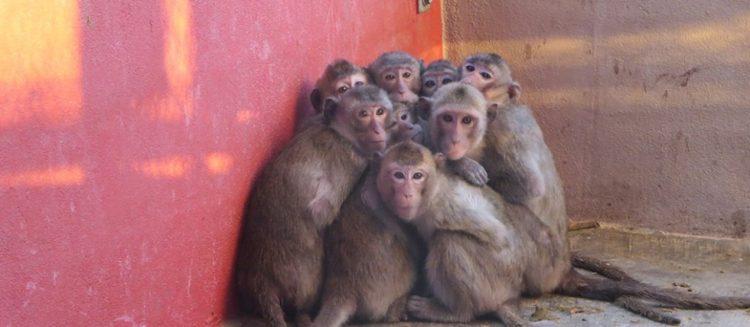 primate-pierde-pelo1