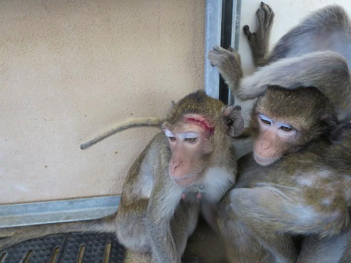primate-pierde-pelo5