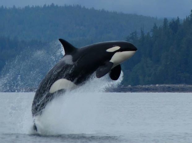 refugio-orcas-cautiverio4
