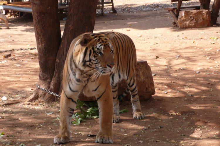 templo de tigres