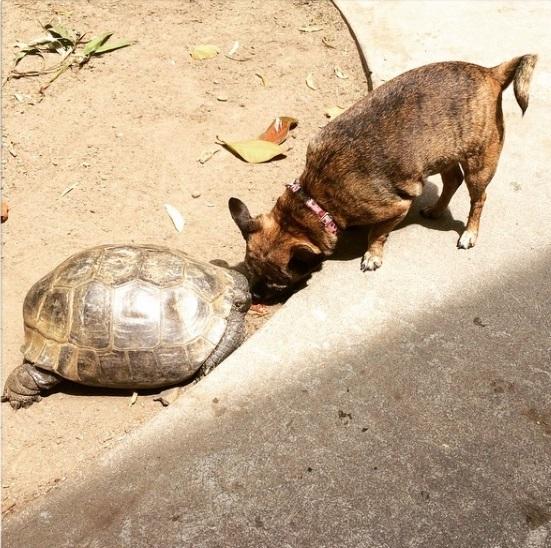 13 mejores amigos tortuga de 50 años y perrita adoptados por actriz van a todos lados