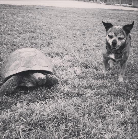1mejores amigos tortuga de 50 años y perrita adoptados por actriz van a todos lados