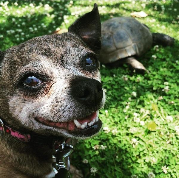 8a mejores amigos tortuga de 50 años y perrita adoptados por actriz van a todos lados