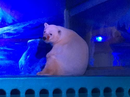 Animals-Asia-oso-polar 2