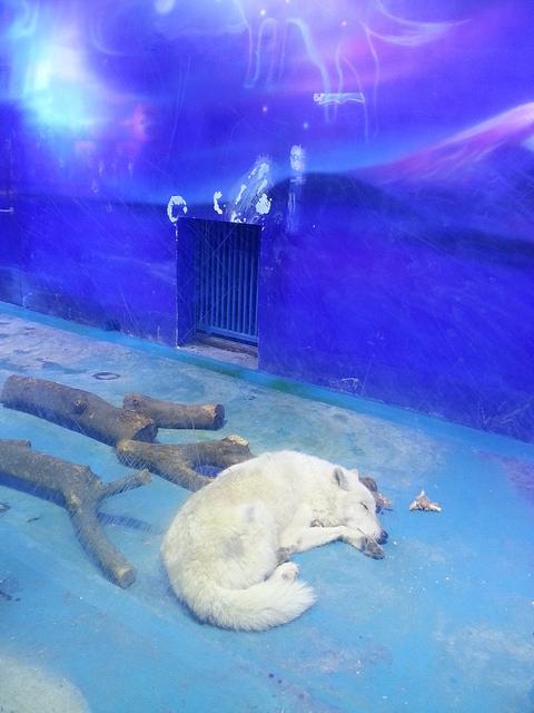 Animals-Asia-oso-polar 5
