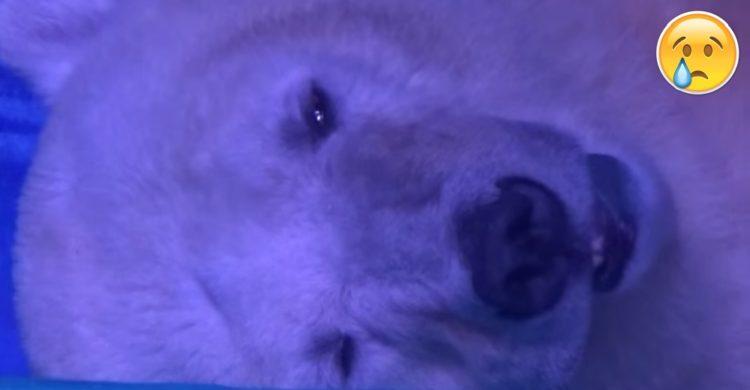 Animals-Asia-oso-polar-portada