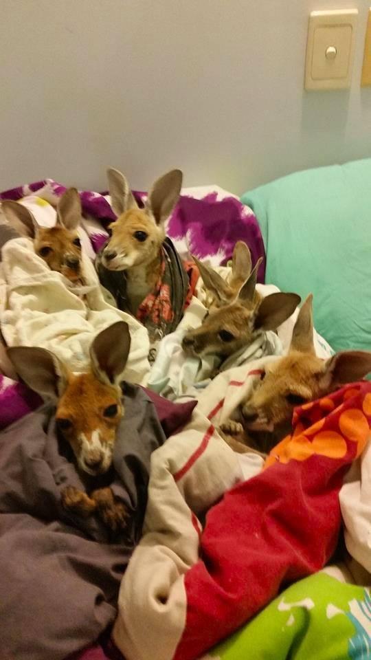 Australiana-cuida-canguros 1