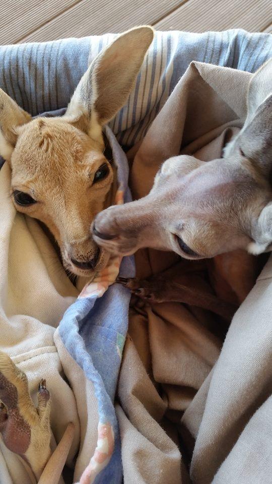 Australiana-cuida-canguros 10