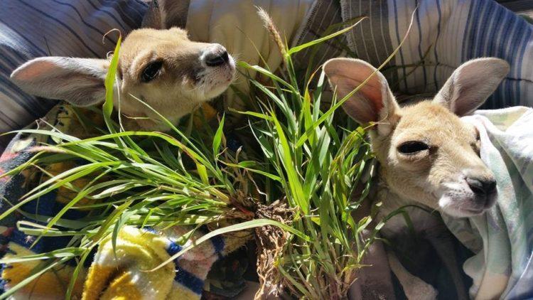 Australiana-cuida-canguros 11