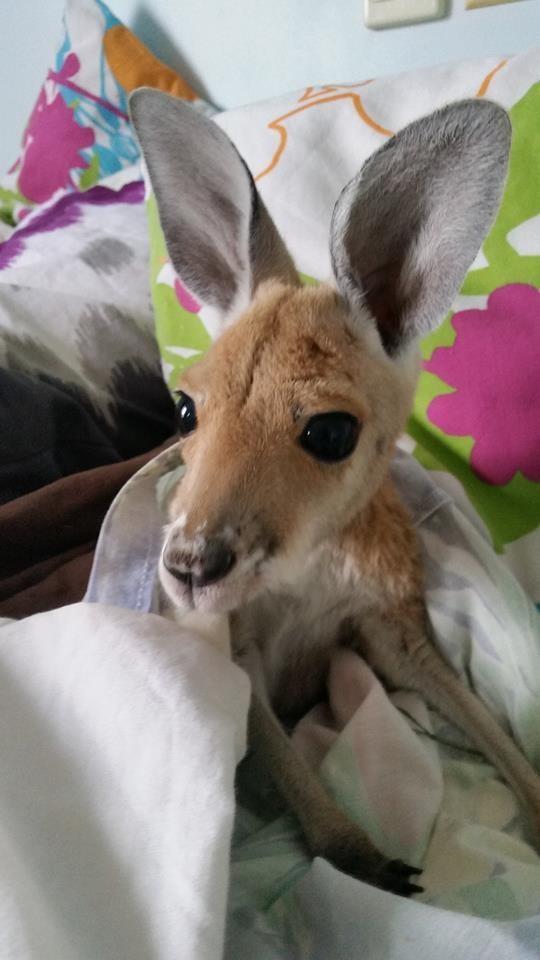 Australiana-cuida-canguros 5