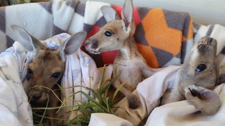 Australiana-cuida-canguros 7