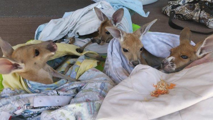 Australiana-cuida-canguros 8
