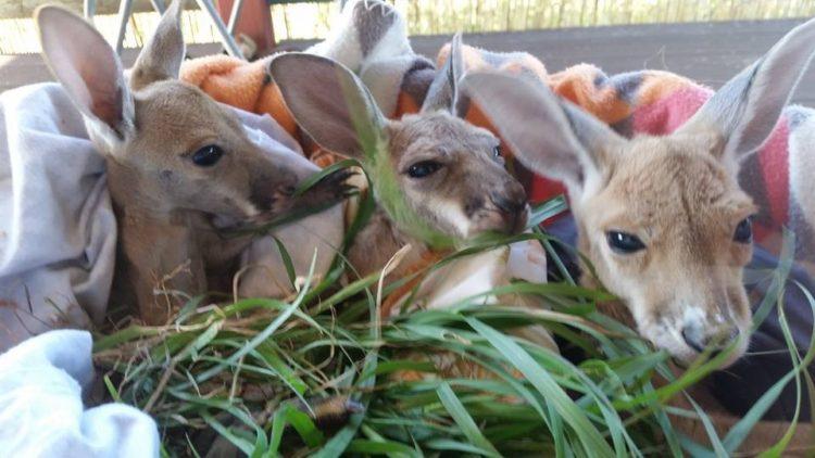 Australiana-cuida-canguros 9
