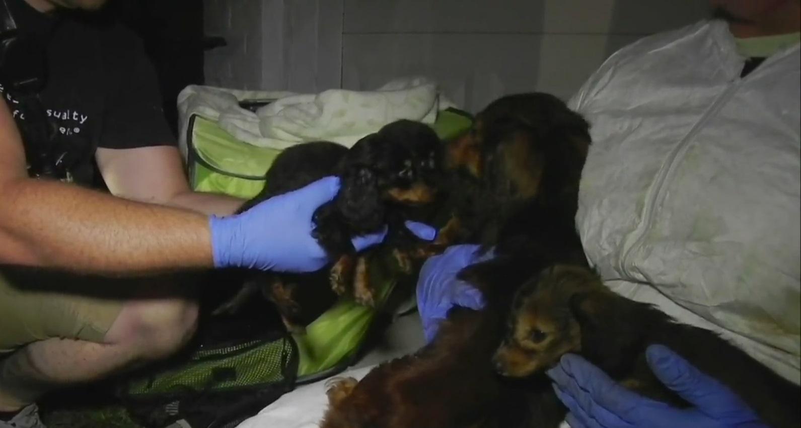 Autoridades descubren y rescatan 27 perros Dachshunds en una casa 3