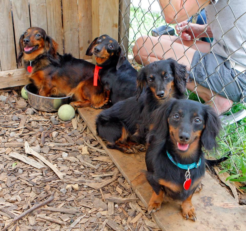 Autoridades descubren y rescatan 27 perros Dachshunds en una casa 5